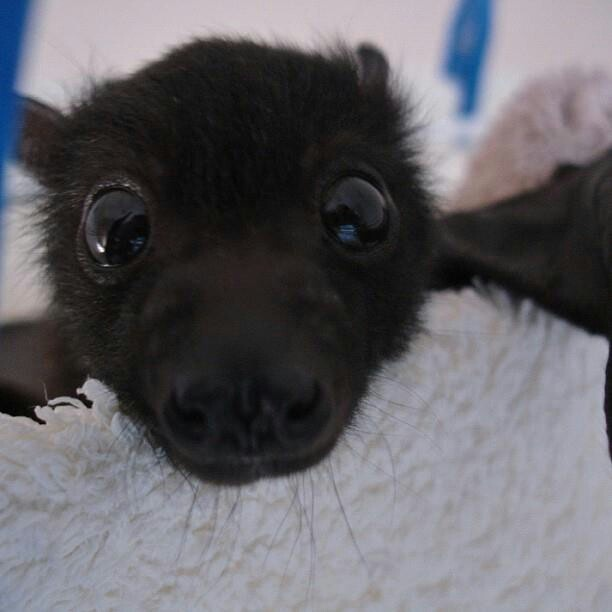 Baby bat - to me bats aren't something out of a horror movie, they're sweet creatures who happen to fly at night.  I think they have a bad reputation.  just look at those sweet innocent eyes.  I would love to hold one one day.