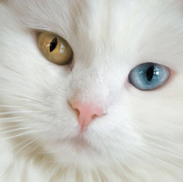 Cat, with gorgeous eyes of different colours. A beautiful photo! too bad its probably blind in the blue eye.