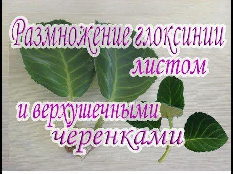 Размножение глоксинии листом и верхушечными черенками. Руководство для н...