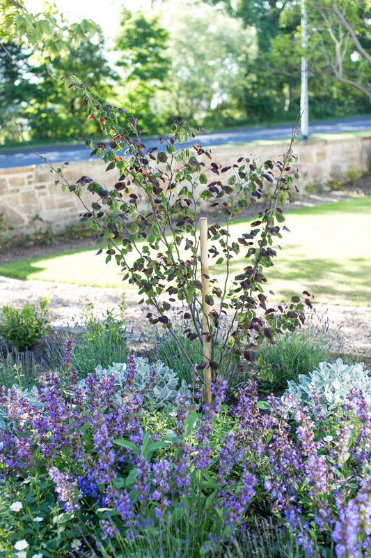 Graceful but low-maintenance grouping of Cercis canadensis Forest Pansy underplanted with soft groups of lavender Munstead, salvia officinalis and Brachyglottis Sunshine. Photo By Natasha Cadman