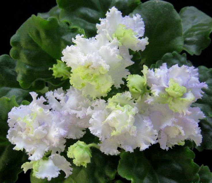 3190 best images about African Violets on Pinterest ...
