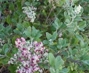 Rhagodia baccata  Berry Saltbush