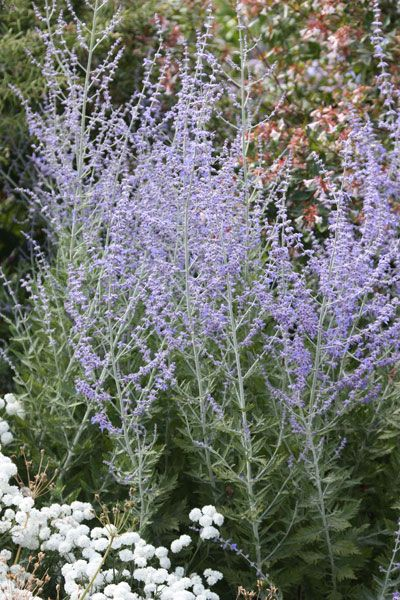 Perovskia 'Blue Spire', Russian sage. With its aromatic leaves and upright spikes of violet-blue flowers, Russian sage makes a wonderful companion to all kinds of late-summer ornamental grasses and perennials. In August and September, tiny, violet-blue, tubular flowers appear on silver-grey spikes above the main framework of the plant, among deeply-cut and lobed, grey-green leaves
