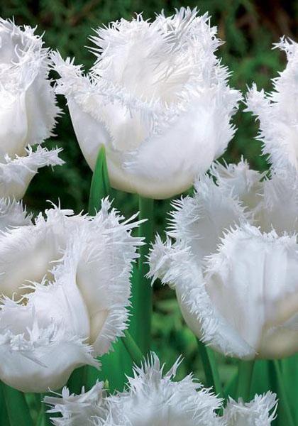 Honeymoon Tulips Bulbs | Fringed Tulip Bulbs | Buy Tulips Flower Bulbs Online | Bloms Bulbs UK An Award Winning Supplier