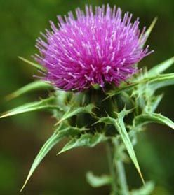 Scotland's national flower is the thistle.