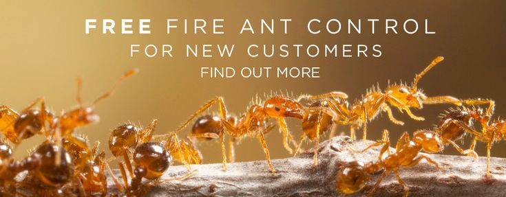 how to remove fire ants