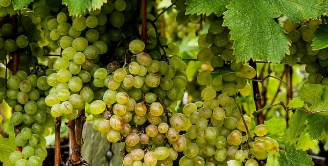 GRAPES: the sweetest fruit!