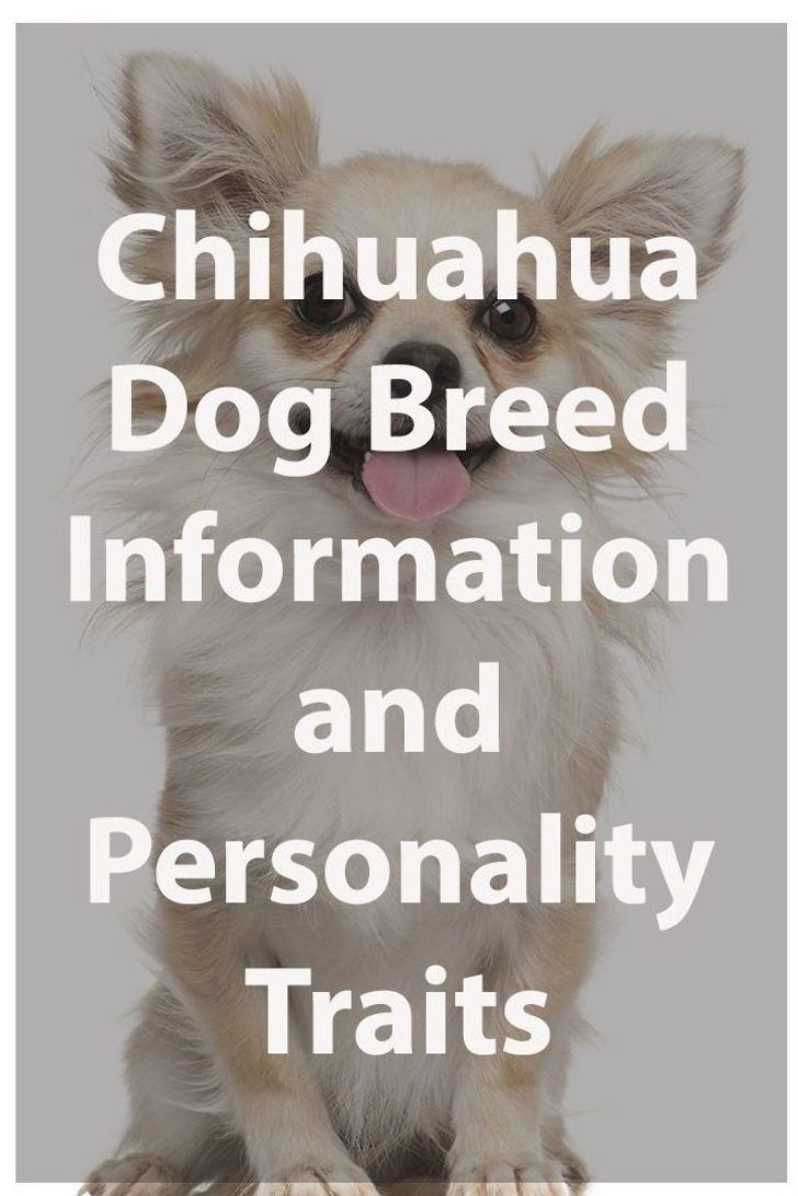 Chihuahua Dog Breed Information and Personality Traits ...