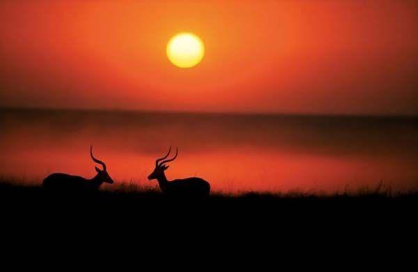 Две импалы (чернопятые антилопы) дерутся на закате.