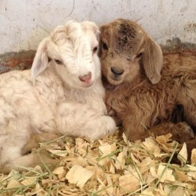 Look at them! LOOK AT THESE ADORABLE BABY GOATS!