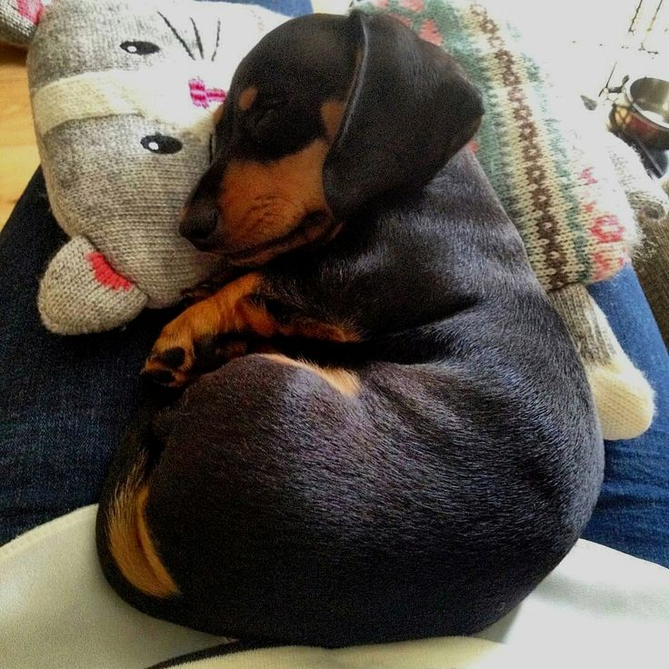 Pin by Leslie Lunsford on Dogs! in 2020 Dachshund dog