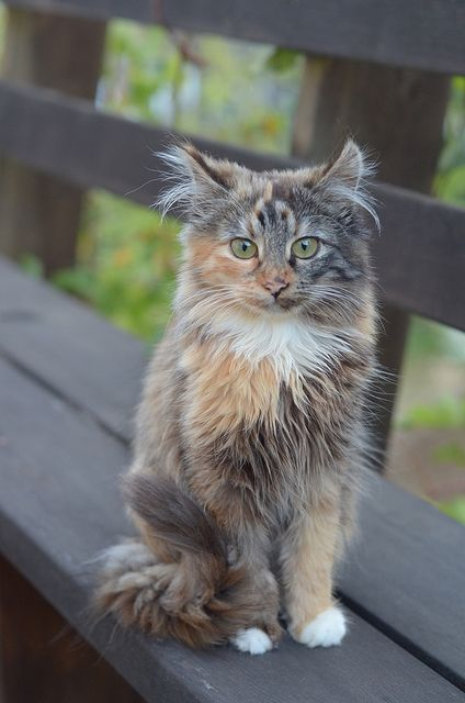25+ best ideas about Calico Cats on Pinterest | Fluffy ... | 424 x 640 jpeg 37kB