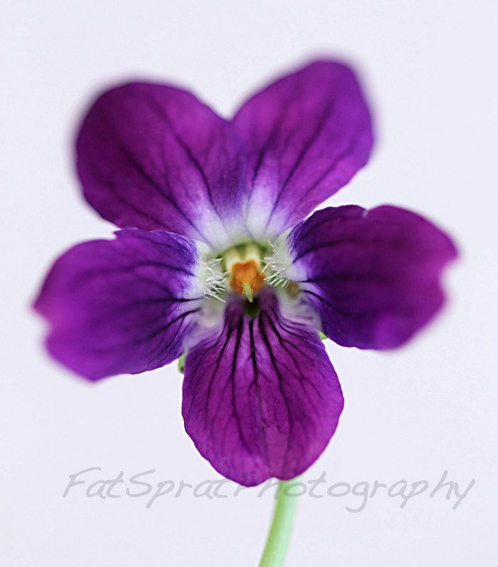 Violet Flower | February birth flower