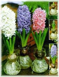How to Force a Hyacinth Bulb.*This method is a particularly easy way to bring a bit of spring into your home before plants outside have warmed up enough to flower. You can use vases created especially for this purpose, or any jar or vase with a small enough mouth to support the bulb, without letting it fall in the water. The point of a forcing glass is to hold the bottom of the bulb away from the water. SEE WEBSITE for specifics: http://www.janeausten.co.uk/how-to-force-a-hyacinth-bulb/