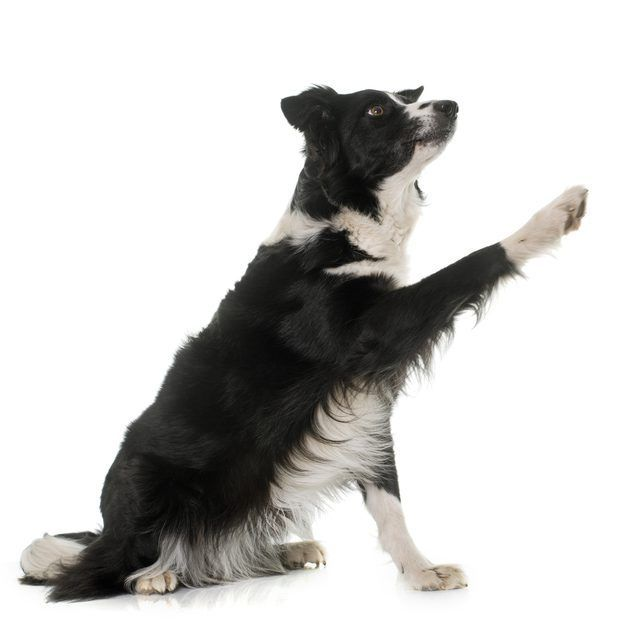 Border Collie Training Secrets How To Train A Puppy Border