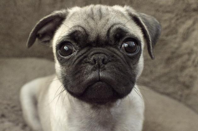 19 cosas que demuestran por qué los pugs son los perros feos más lindos - Batanga