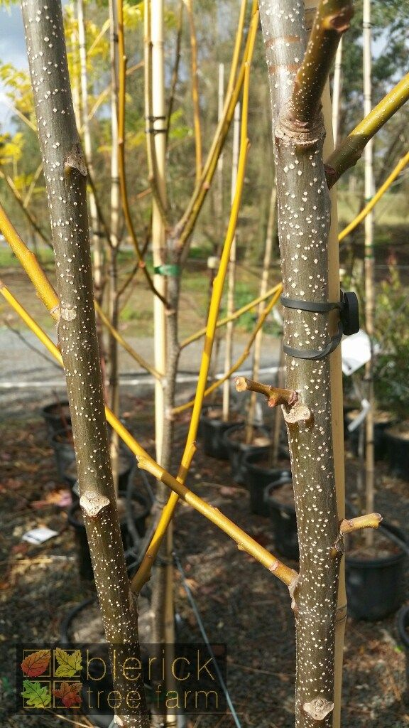 Melia azedarach – White Cedar – Purchase Bare Rooted Trees Online