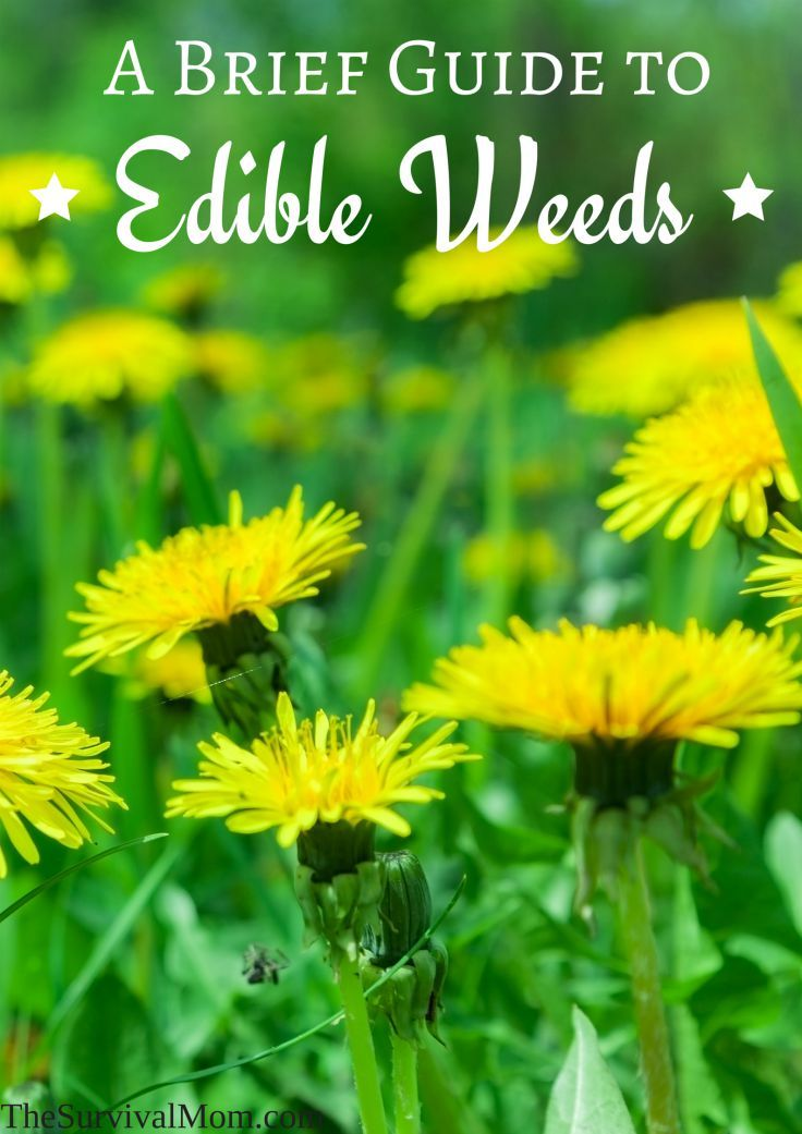 Edible weeds are all around us, if we just know where to look and how to use them. Many times, they offer trace minerals and such that we need.