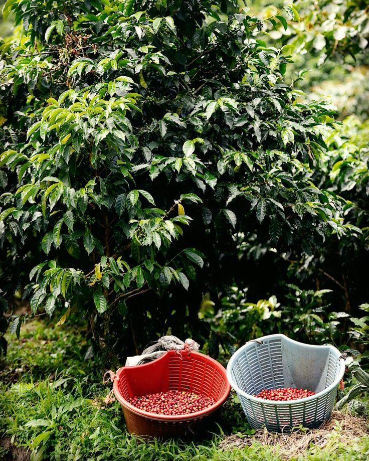 Сегодня в 18.00 @levlevon будет у нас варить свой кофе с которым выступал на #рчб2017  Страна: Panama  Ферма: Lerida Estate  Разновидность: Geisha Обработка: Natural  Осталось одна пачка в 200 гр  Обжарщик: Colonna UK Во вкусе: тропические фрукты цветы и цитрусы. Не пропустите #ohmytea #ohmytearu #ohmytea_ru #coffee #coffeespb #спб #омайти #омойчай #кофе #кофейня #spb #saintp
