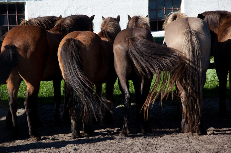 Horses at Læsø in Denmark #fun #travel #denmark #horses #hobby