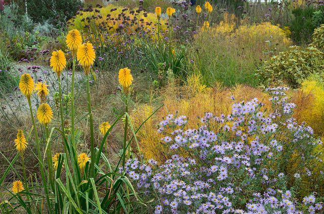 Kniphofia jaunes et asters dans un massif - ukgardenphotos / flickr.com