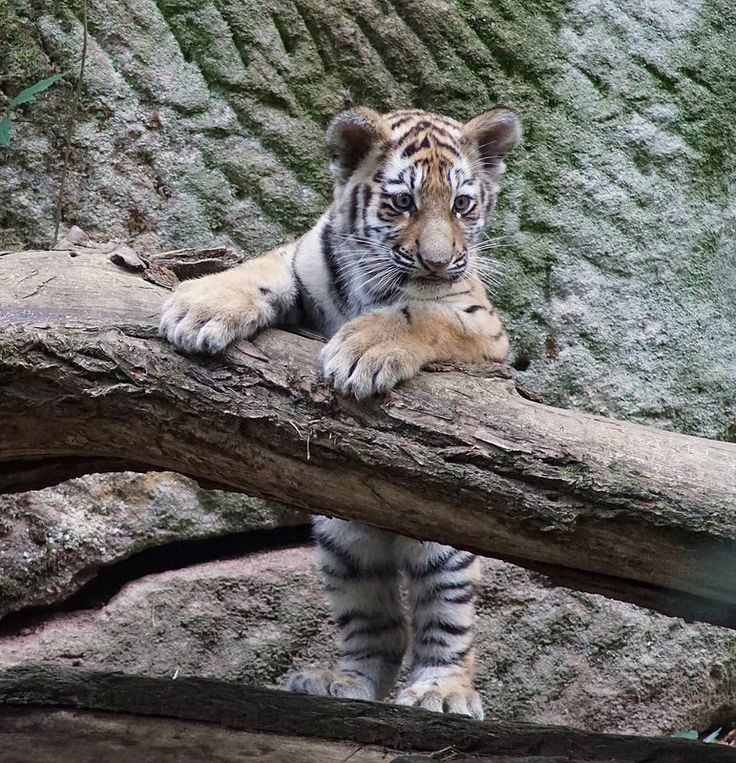 "Tiger cub    ""Aljoscha or Volodya ?""       150926 
