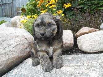 Cockapoos Ontario | Cockapoo Puppies for Sale & Breeders - Kawartha Country Kennel