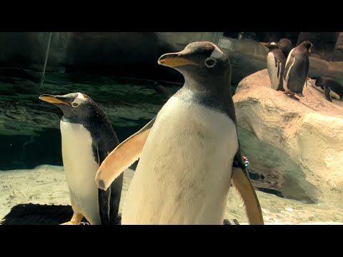 Si quieres conocer cómo viven los pingüinos, qué comen, cómo se reproducen, cómo hacen caca y pis, así como otras curiosidades sobre ellos, mira este vídeo d...