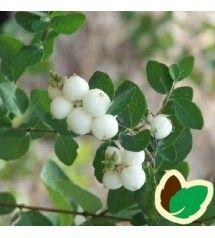 Almindelig Snebær 30-50 cm. - Bundt med 10 stk. barrodsplanter - Symphoricarpos albus