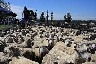 Weird Sports: Sheep Counting  What is the best way to put yourself to sleep? The answer would probably be Sheep Counting. If you think you're good at counting sheep then Australia is the place for you. The Aussies are crazy for sheep and sports and a recent addition to their sporting calendar is Sheep Counting.   The game involves atleast 400 sheep madly dashing past ten competitors who will try to count them accurately. The competitor who makes the most accurate estimate as to the real…