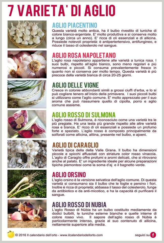 Le7 varietà di aglio www.facebook.com/ilcalendariodellorto/photos/a.495321310591388.1073741830.487594818030704/833676843422498/?type=3&t