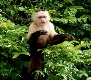 White faced Capuchin monkey in Gatun Lake