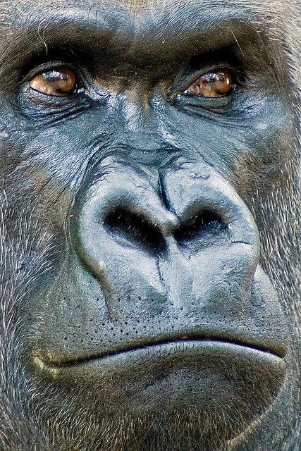 Gorilla... his eyes are so expressive... you could almost image what he's thinking