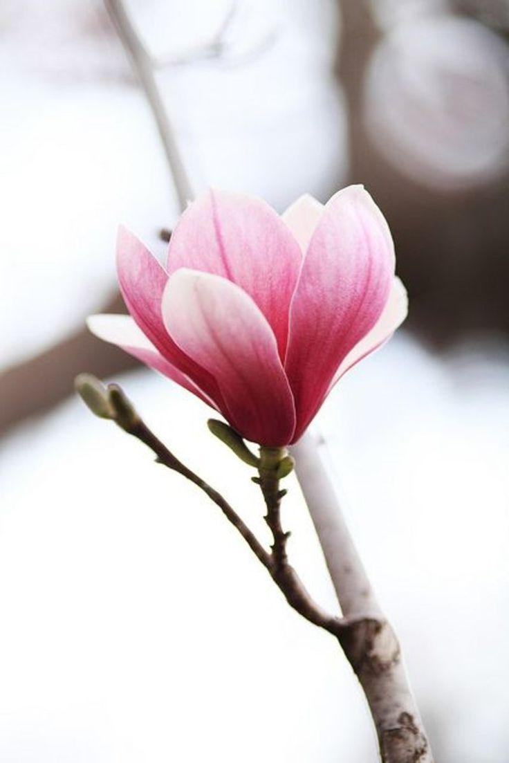 Magnolienbaum genus Magnolia