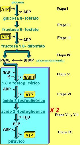 Glucolisis: