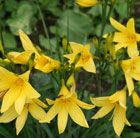 (P3) Hemerocallis lilioasphodelus daylily Position: full sun Soil: fertile, moist, well-drained soil Rate of growth: average Flowering period: June Hardiness: fully hardy H: 50-100 cm S: 40cm This early-flowering daylily produces masses of fragrant, long-lasting, bright custard-yellow, lily-like flowers which open in the late afternoon, and last for just one day. Plant close to a path/entrance to appreciate its fragrance.