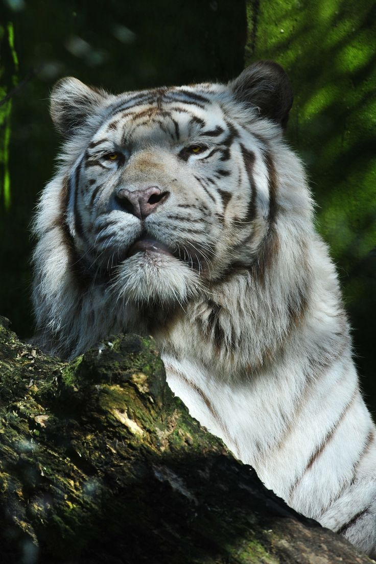 Siberian Tiger - A magnificent proud animal                                                                                                                                                                                 More
