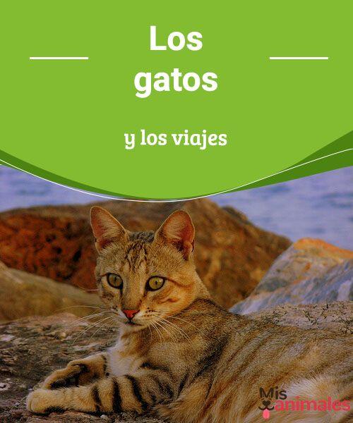 Los gatos y los viajes  ¿Tienes que viajar con tu mascota? Hoy veremos cómo son los viajes con gatos, si les gusta viajar y algunos consejos para sobrellevarlos de la mejor manera. #gatos #viajes #consejos #buenviaje