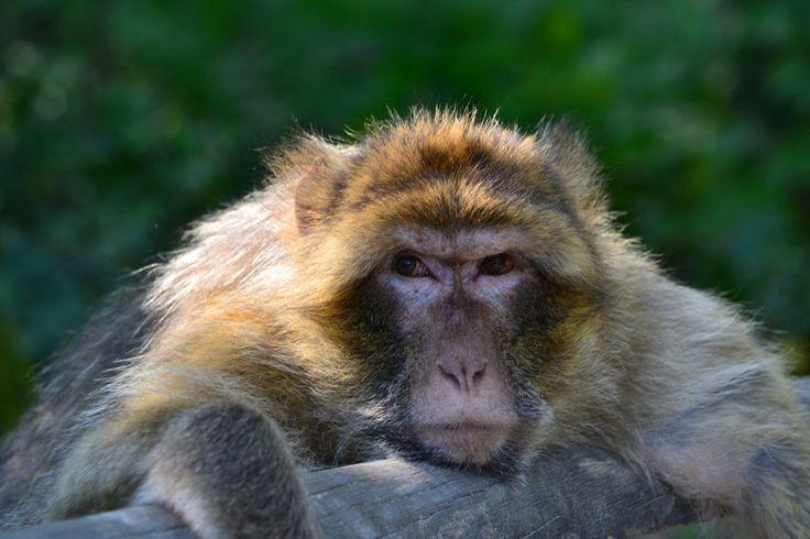 Les magots vivent en grands groupes de 10 à 60 individus. Les femelles constituent l'élément stable du groupe.