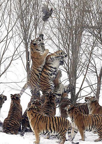 Tigers, bird