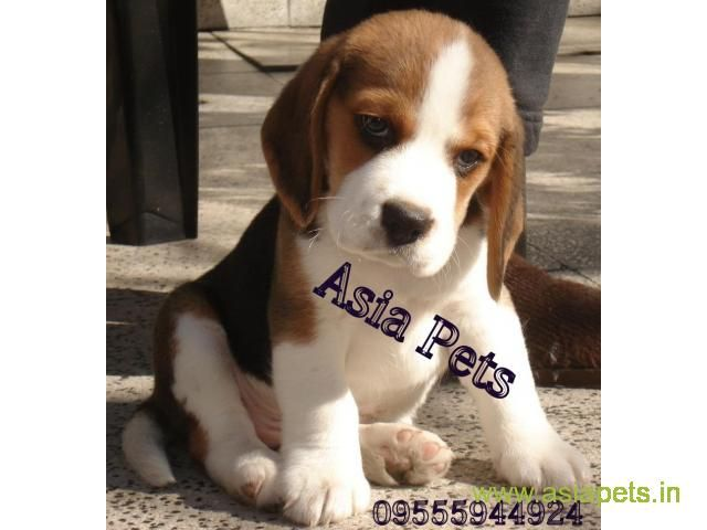 Beagle Puppy For Sale In Coimbatore Best Price Puppies For Sale