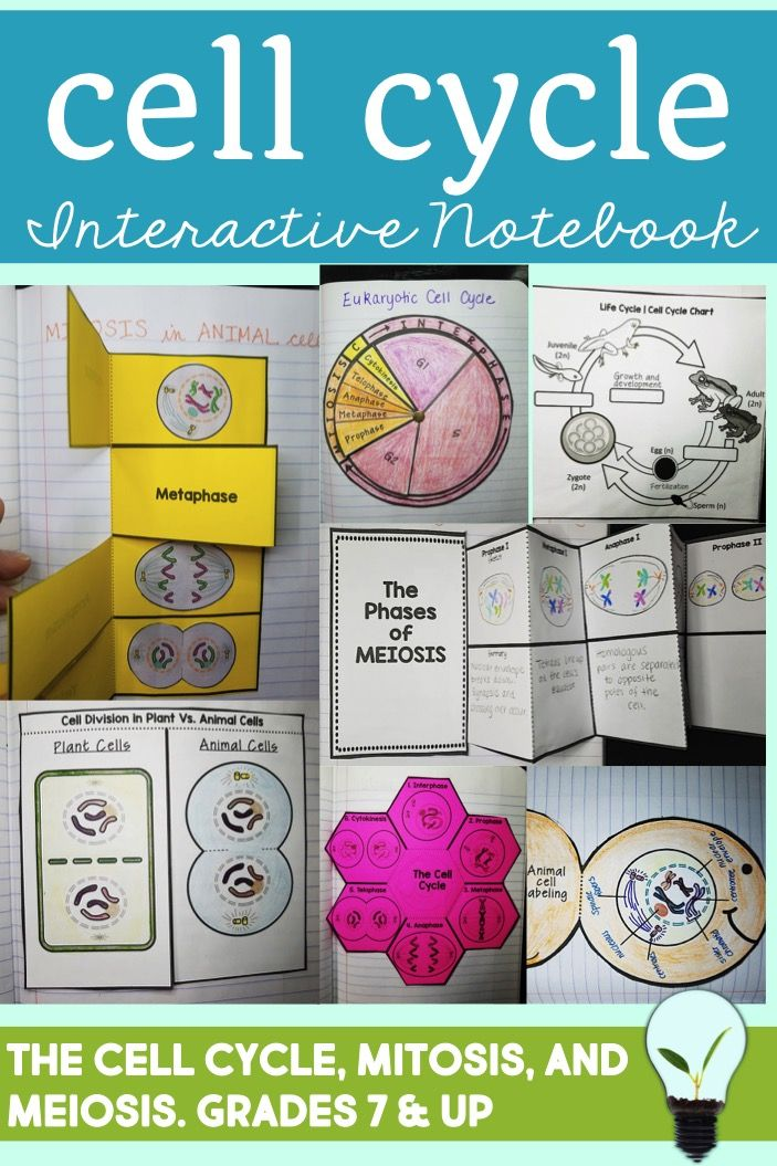 Mitosis, meiosis and general cell cycle interactive notebook activities- designed for high school biology or middle school life science.