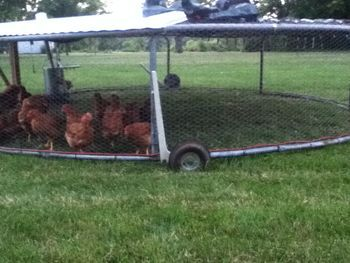 Re-purposed trampoline to a chicken tractor!  Hmmmm....maybe Big Daddy could add wheels!