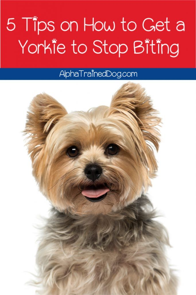 5 Easy Tips On How To Get A Yorkie To Stop Biting Alpha Trained