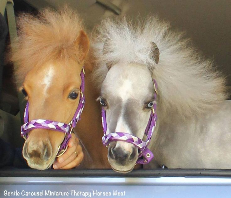 Wild hair day for these miniature therapy horses