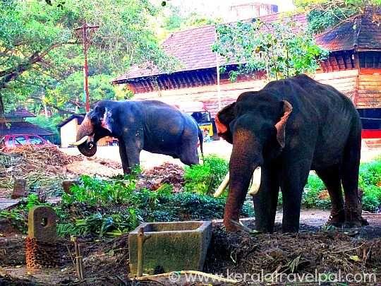 Elephant at Guruvayoor Anakotta, Kerala | Guruvayoor ...