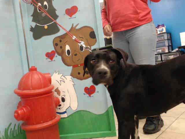 ~~DIES MONDAY 04/10/17 7AM ** SEE VIDEO!!** -HOUSTON - EXTREMELY URGENT - ~~owner surrender, so no hold time req'd~~COOKIE - ID#A480794 My name is COOKIE I am a female, black and white Great Dane mix. The shelter staff think I am about 2 years old. I have been at the shelter since Apr 04, 2017. Harris County Public Health and Environmental Services. https://www.facebook.com/harriscountyanimalsheltervolunteers/videos/486008231523422/