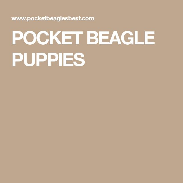 POCKET BEAGLE PUPPIES