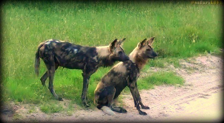 @jamiepaterson4 Wild Dogs #safarilive 3-3-17