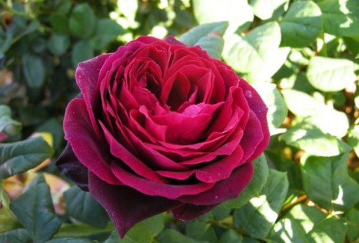Rose Astrid Grafin von Hardenberg